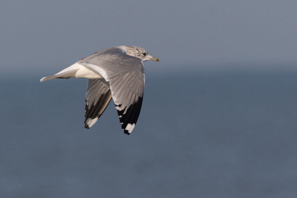 20170121-Common Gull Adult-82.jpg