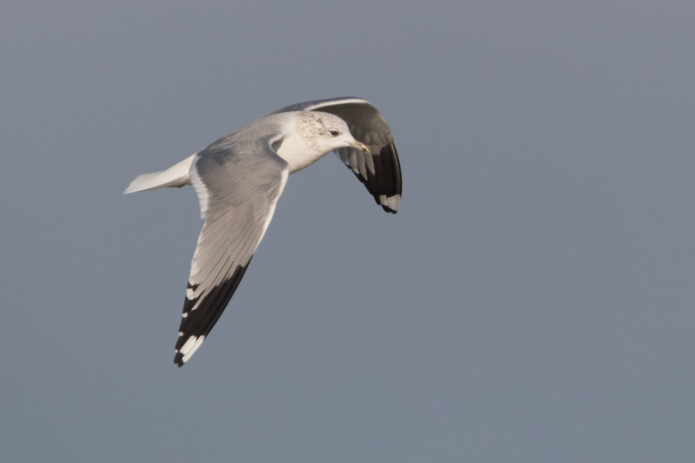20170121-Common Gull Adult-84.jpg