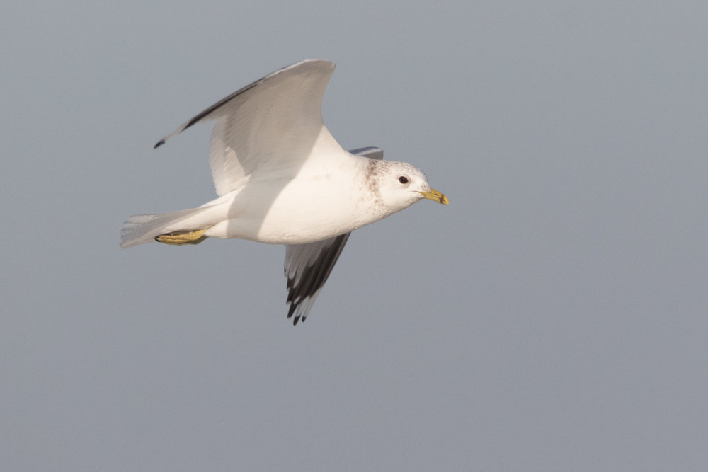 20170121-Common Gull Adult-87.jpg