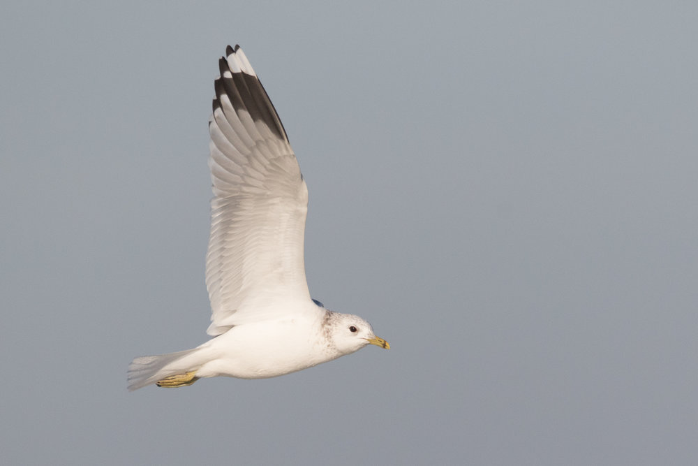 20170121-Common Gull Adult-88.jpg