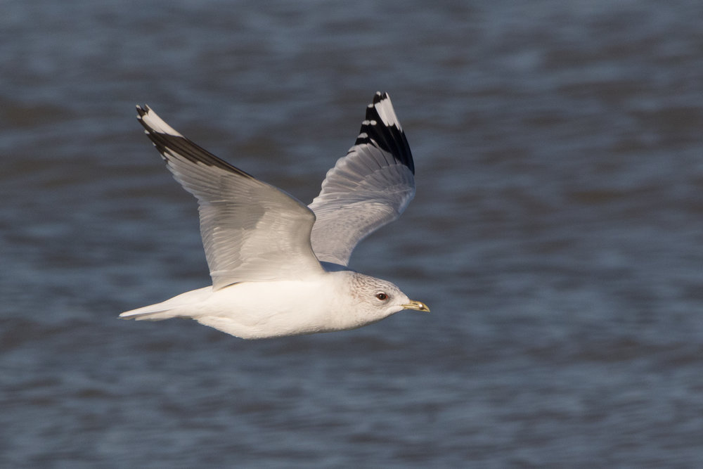 20170121-Common Gull Adult-89.jpg