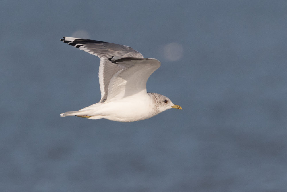 20170121-Common Gull Adult-90.jpg