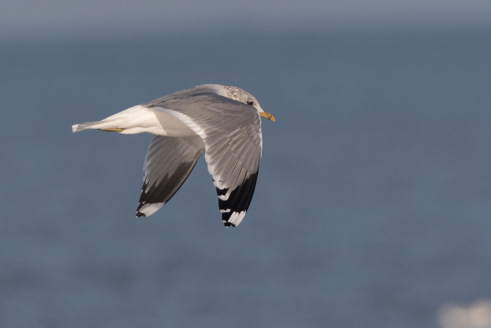20170121-Common Gull Adult-91.jpg