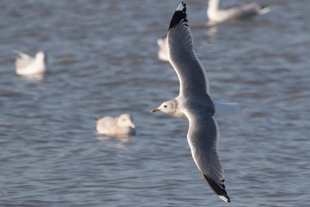20170121-Common Gull Adult-93.jpg