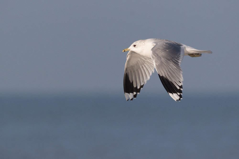 20170121-Common Gull Adult-94.jpg