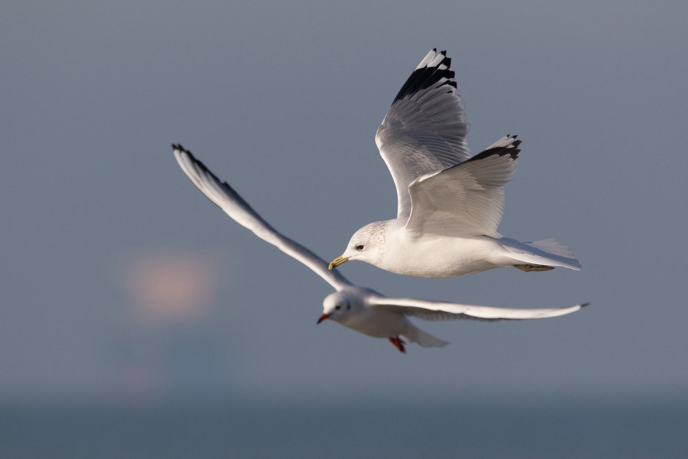 20170121-Common Gull Adult-100.jpg