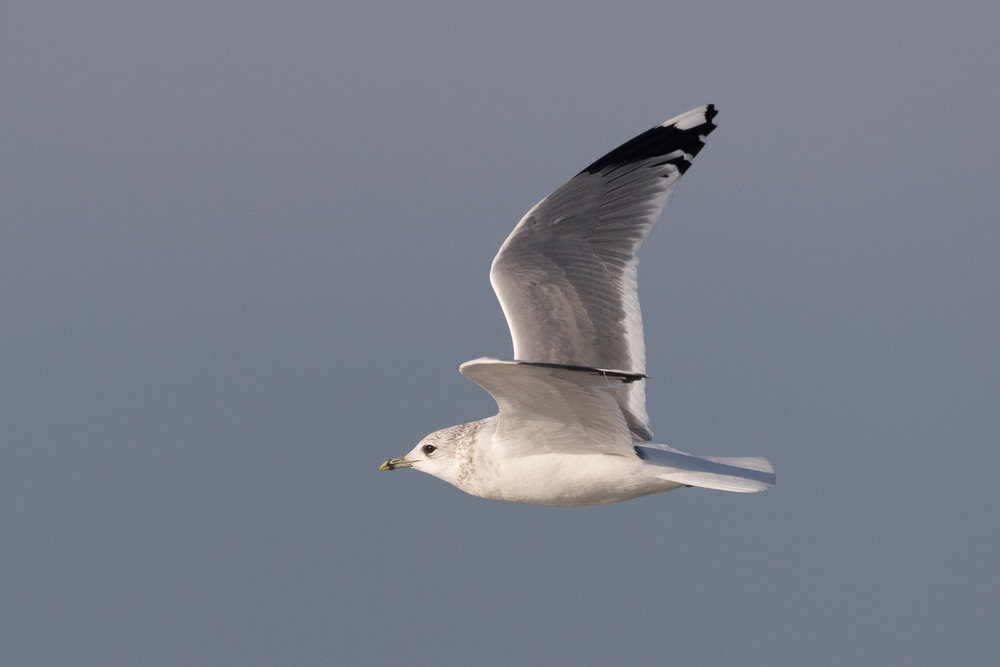 20170121-Common Gull Adult-103.jpg