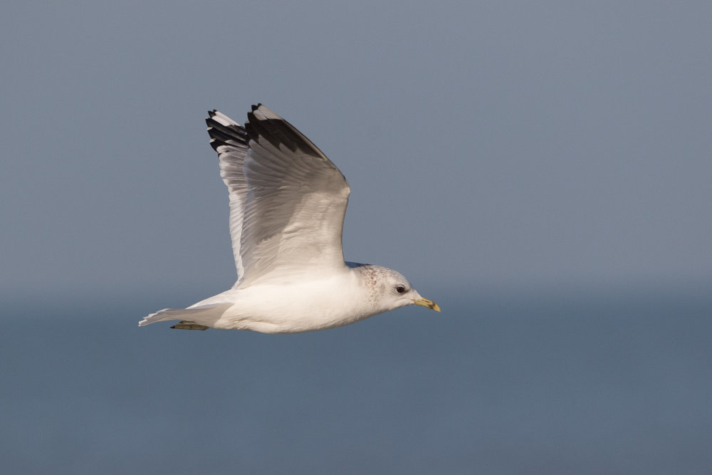 20170121-Common Gull Adult-105.jpg