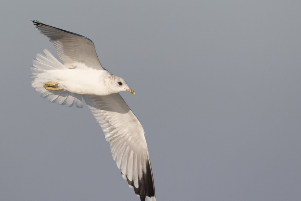 20170121-Common Gull Adult-107.jpg