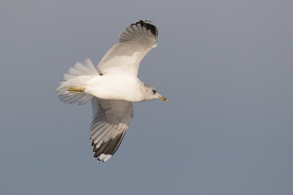 20170121-Common Gull Adult-108.jpg