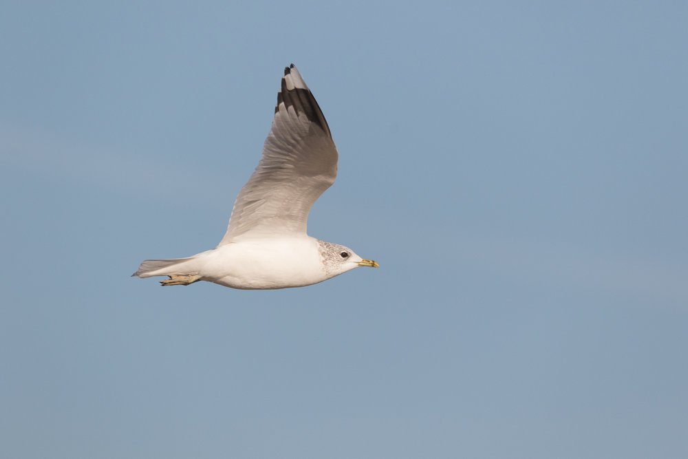 20170121-Common Gull Adult-112.jpg