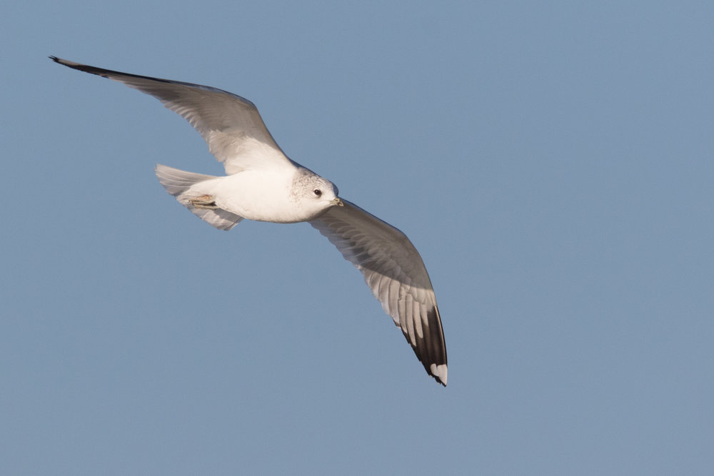 20170121-Common Gull Adult-113.jpg