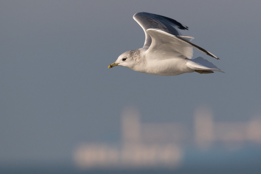 20170121-Common Gull Adult-117.jpg