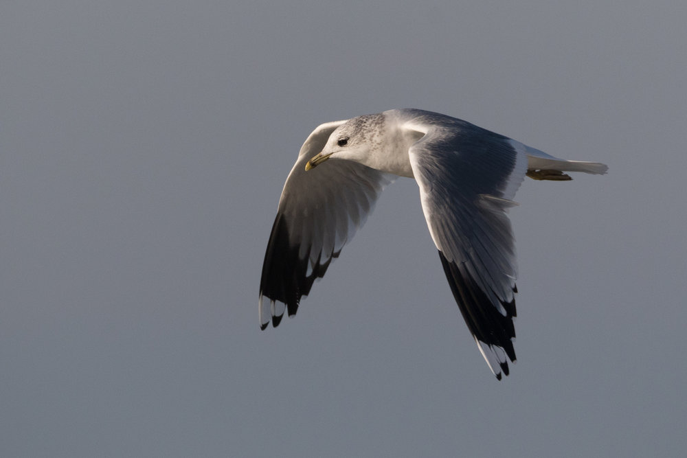 20170121-Common Gull Adult-120.jpg