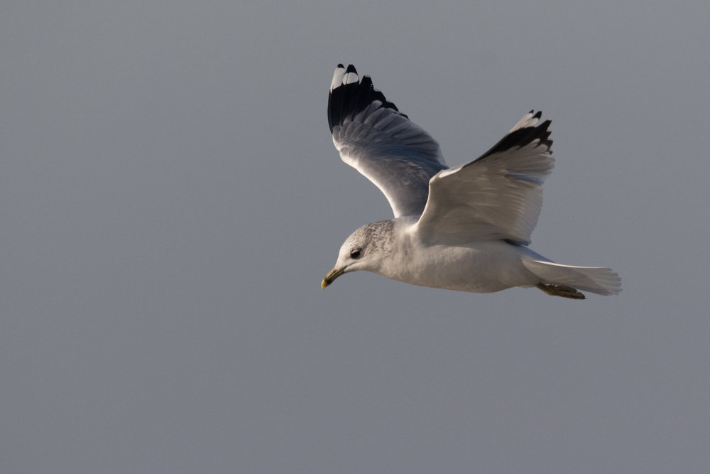 20170121-Common Gull Adult-122.jpg