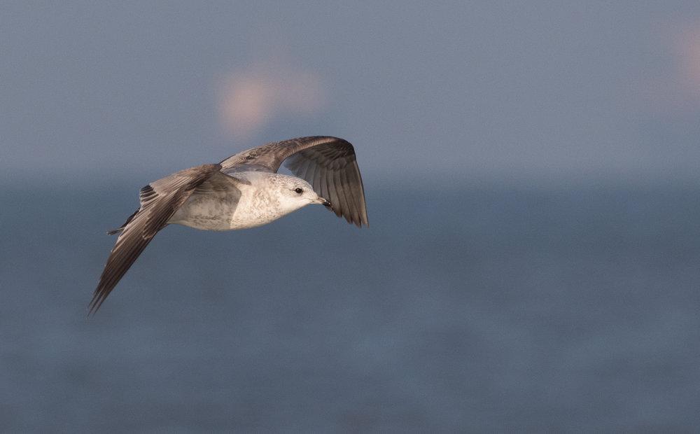 20170121-Common Gull 2CY-03.jpg