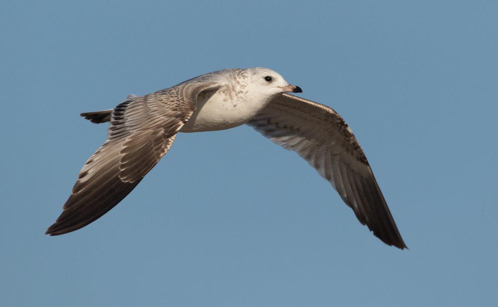20170121-Common Gull 2CY-06.jpg