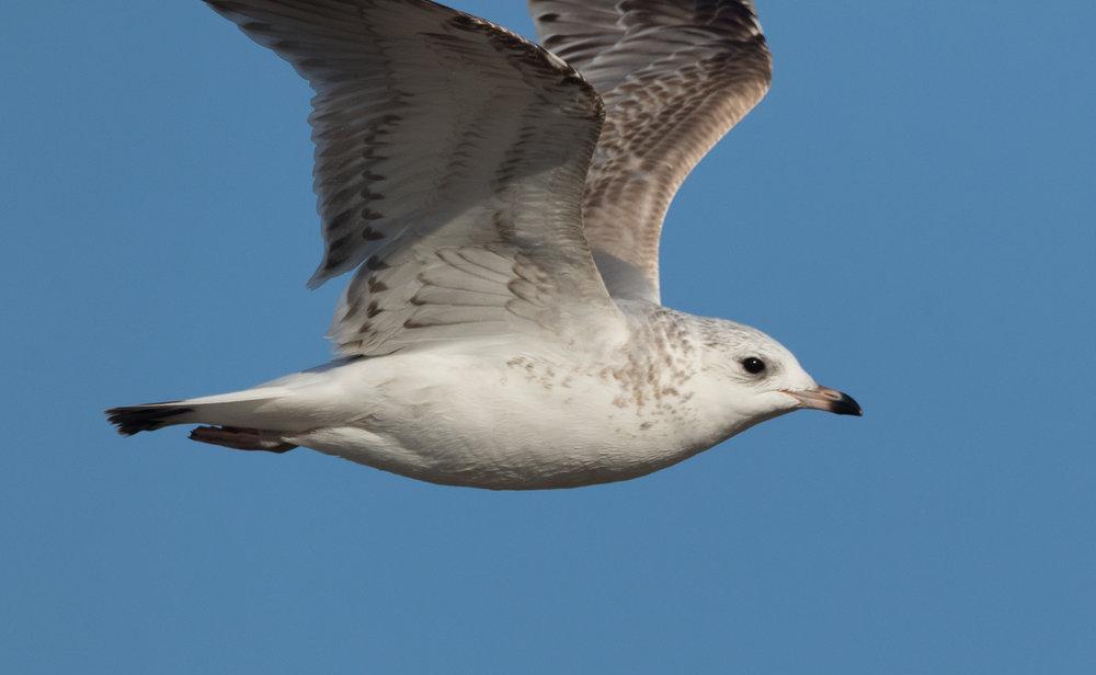 20170121-Common Gull 2CY-09.jpg