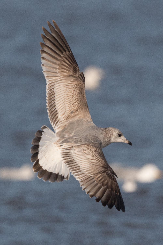 20170121-Common Gull 2CY-14.jpg