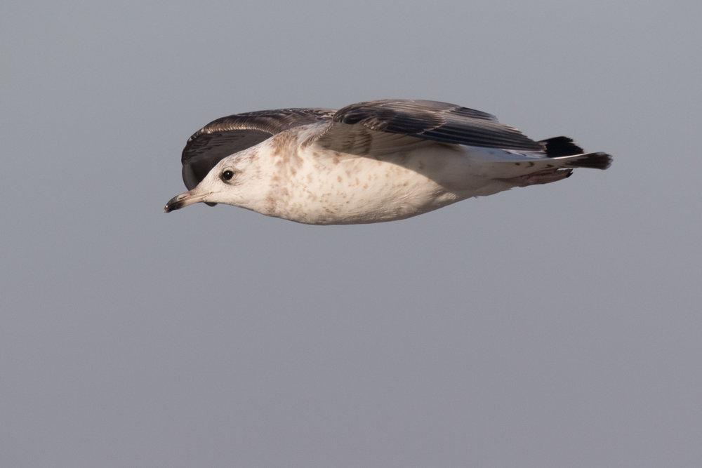 20170121-Common Gull 2CY-21.jpg