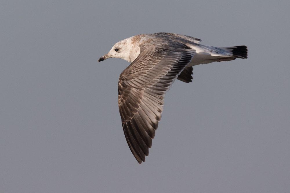 20170121-Common Gull 2CY-24.jpg