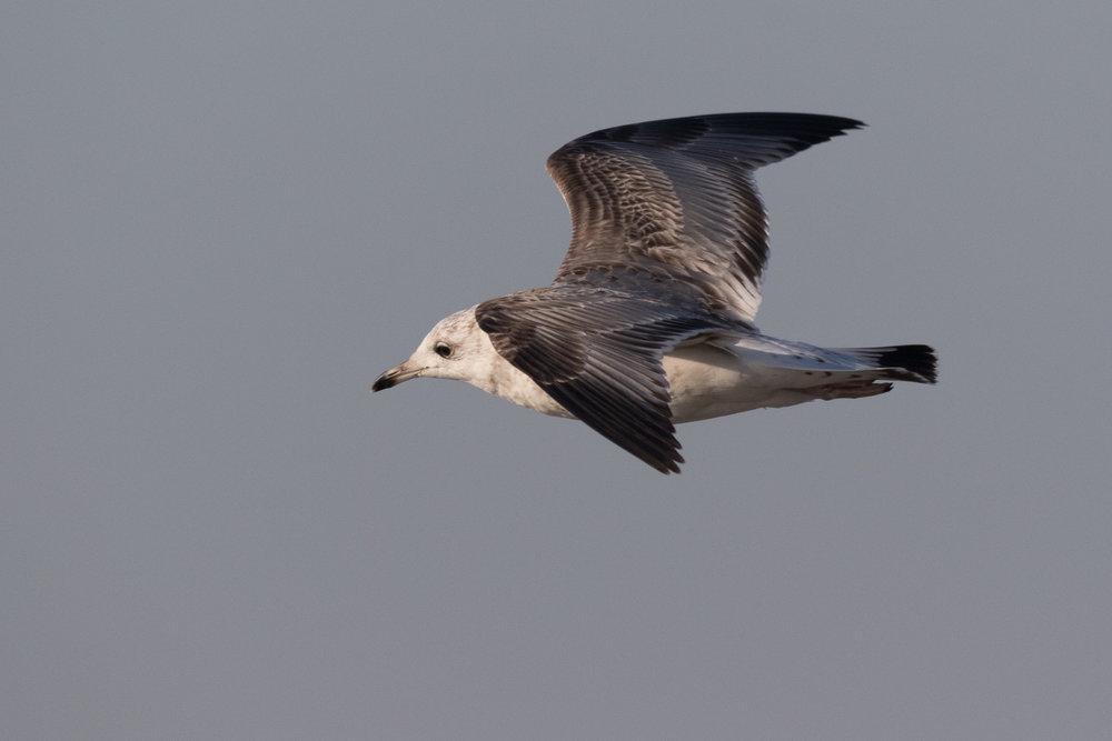 20170121-Common Gull 2CY-25.jpg