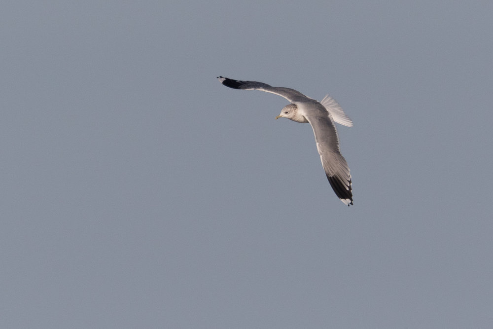 20170124-Common Gull Adult-126.jpg