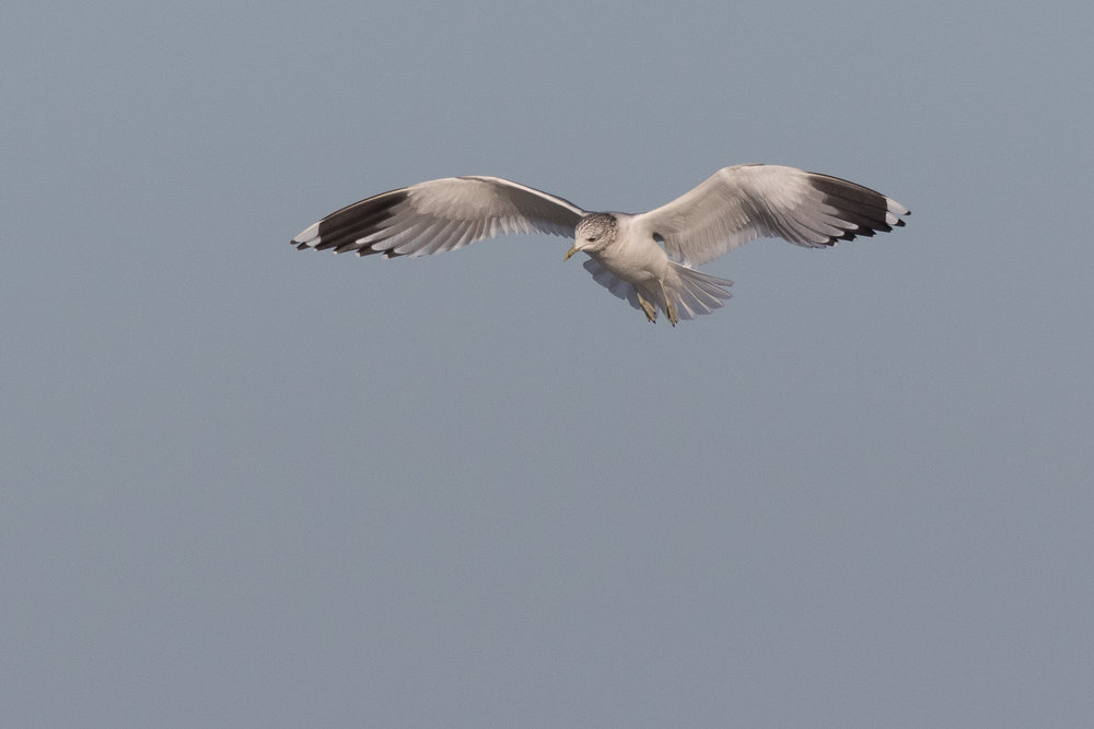 20170124-Common Gull Adult-127.jpg