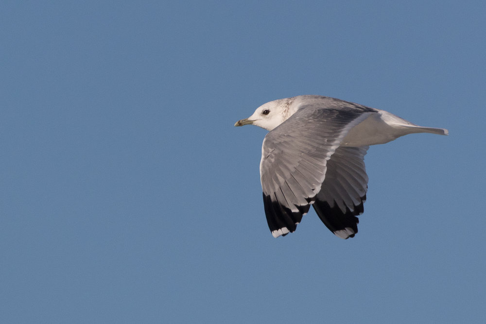20170124-Common Gull Adult-129.jpg