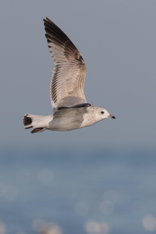 20170124-Common Gull 2CY-27.jpg