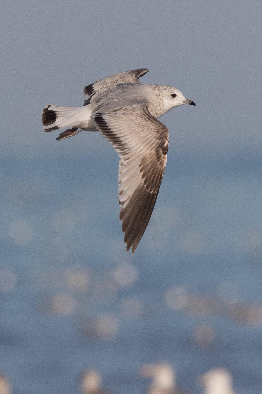 20170124-Common Gull 2CY-26.jpg