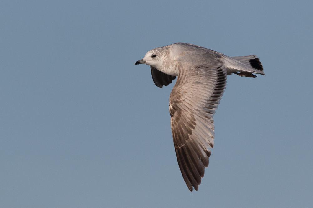 20170124-Common Gull 2CY-29.jpg