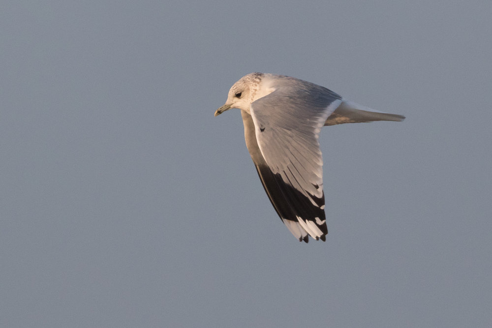 20170126-Common Gull Adult-130.jpg