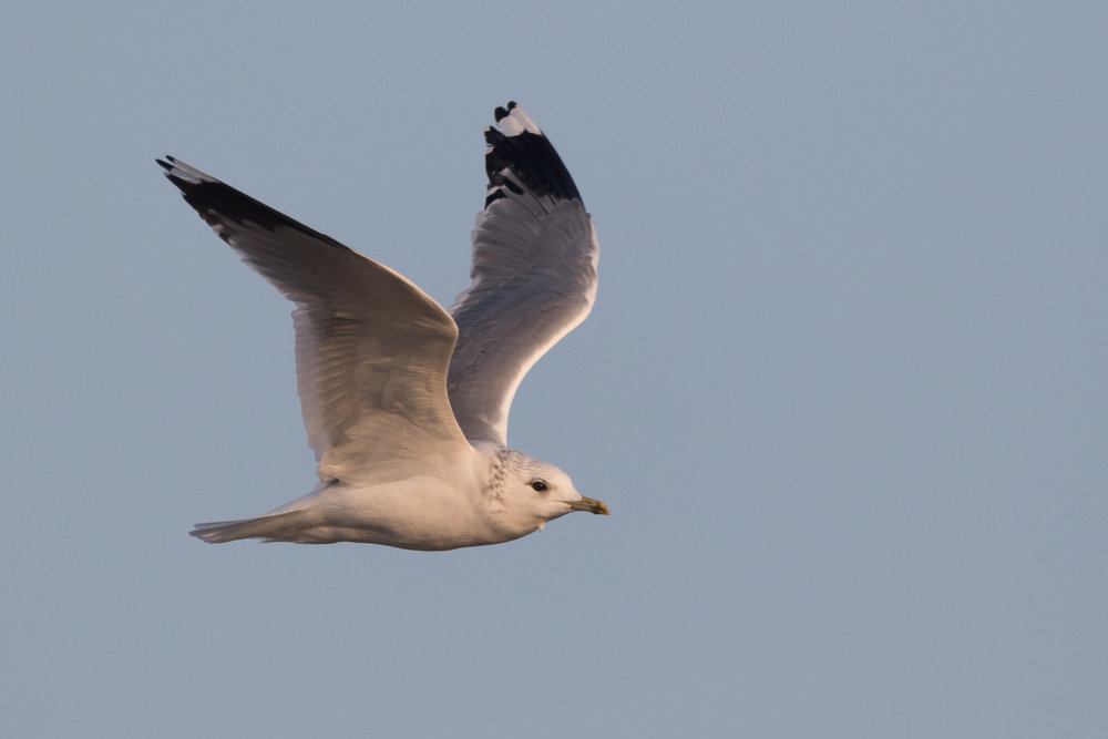 20170126-Common Gull Adult-135.jpg