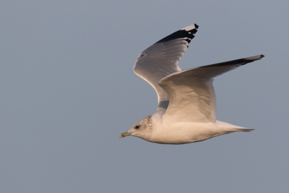 20170126-Common Gull Adult-143.jpg