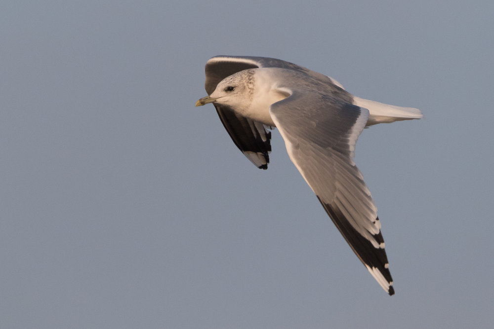 20170126-Common Gull Adult-144.jpg