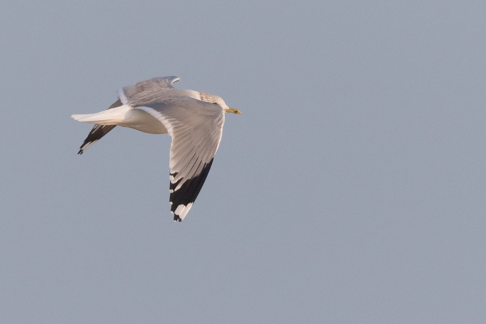 20170126-Common Gull Adult-145.jpg