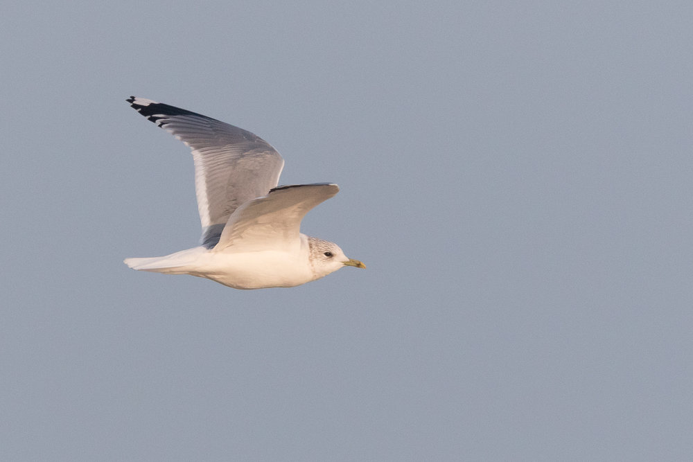 20170126-Common Gull Adult-146.jpg