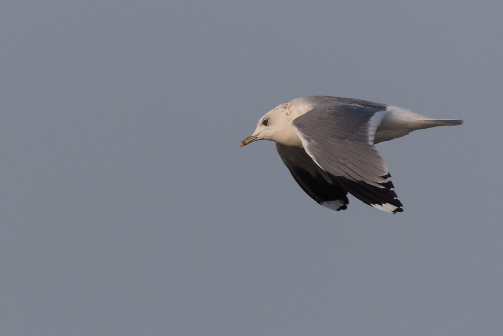 20170126-Common Gull Adult-148.jpg