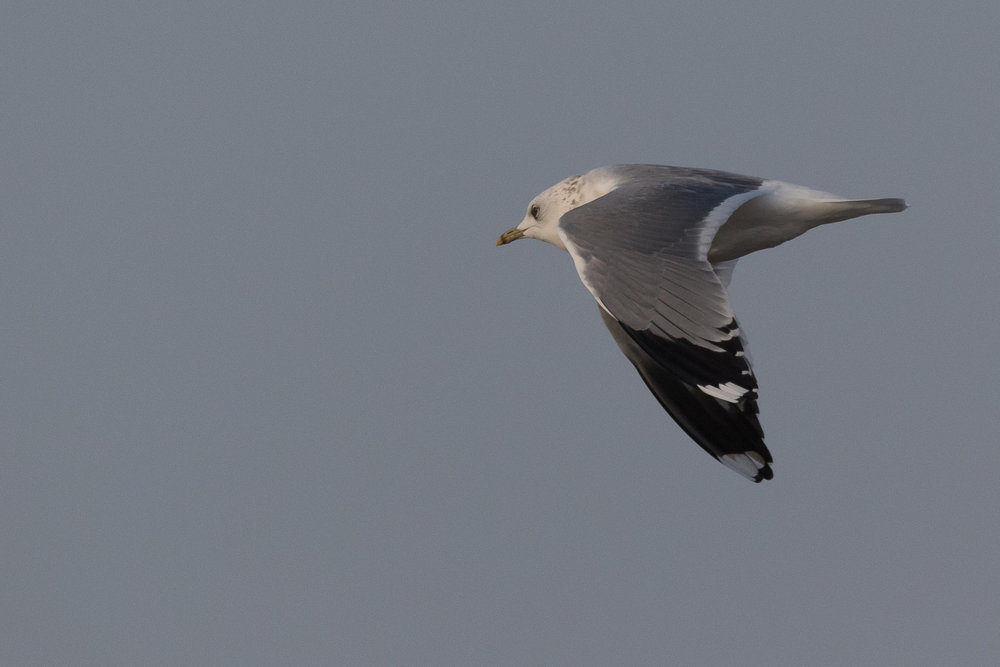 20170126-Common Gull Adult-149.jpg