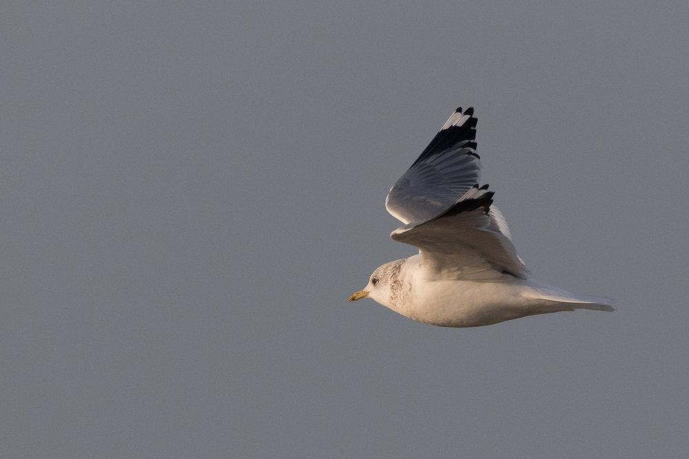 20170126-Common Gull Adult-152.jpg