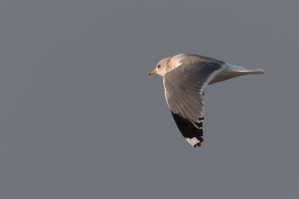 20170126-Common Gull Adult-153.jpg