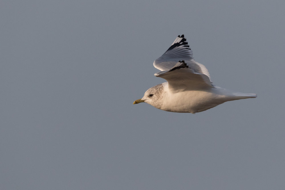 20170126-Common Gull Adult-157.jpg