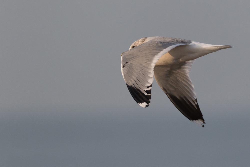 20170126-Common Gull 3CY-03.jpg