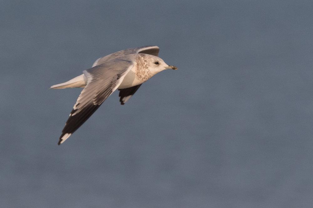 20170126-Common Gull 3CY-05.jpg