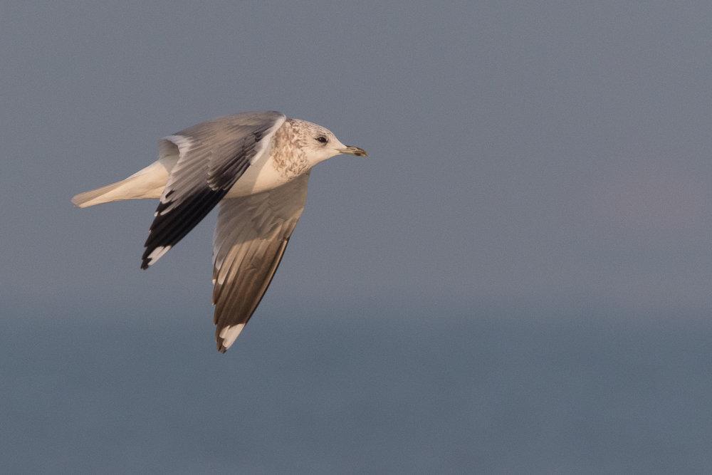 20170126-Common Gull 3CY-06.jpg
