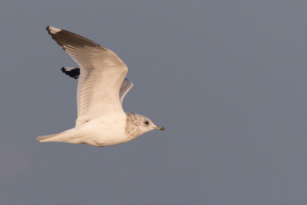 20170126-Common Gull 3CY-07.jpg
