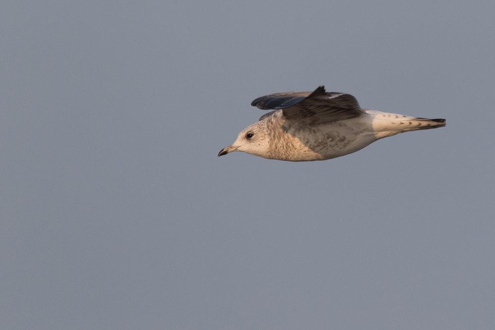 20170126-Common Gull 2CY-30.jpg