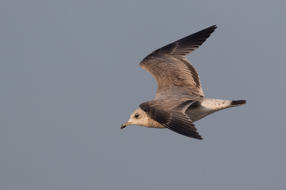 20170126-Common Gull 2CY-32.jpg