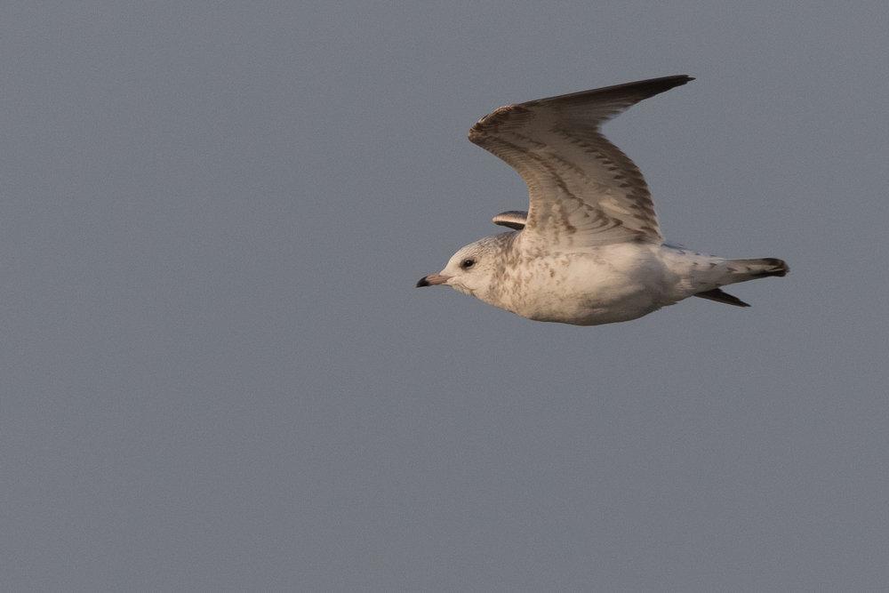 20170126-Common Gull 2CY-37.jpg